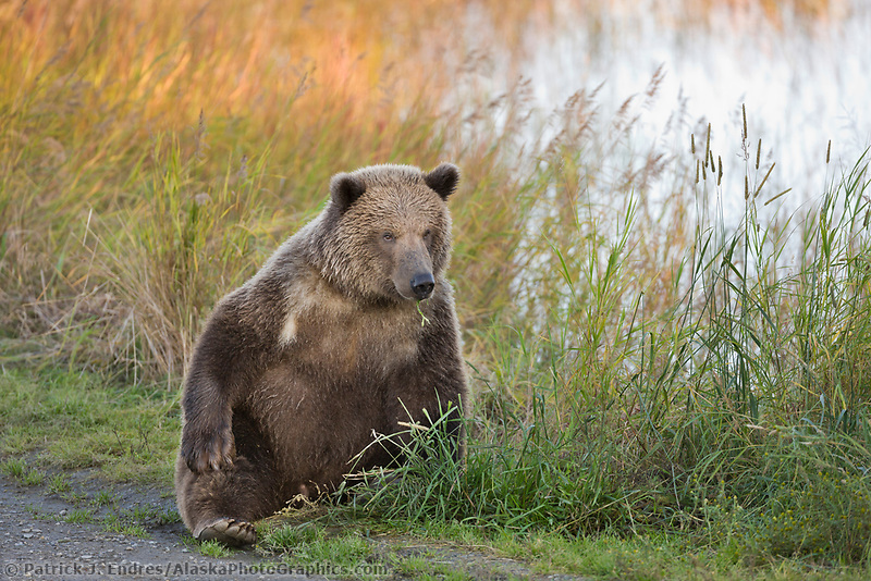 Brown bear, Katmai National Park, Alaska.