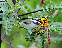 Adult male Blackburnian warbler