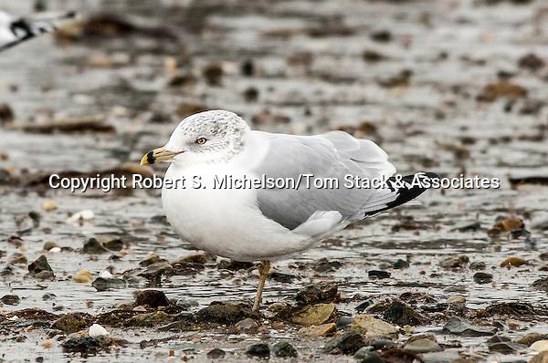 Ring-billed Gull over-wintering in Hingham, Massachusetts
