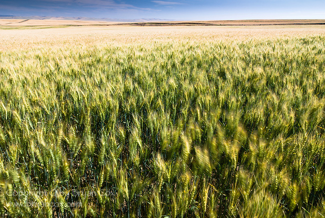 Wheat fields in the wind, central Oregon