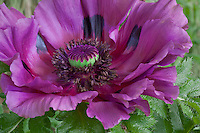 Vashon Island, WA<br /> Detail of a purple blossoming Oriental poppy (Papaver orientale 'Patty's Plum')