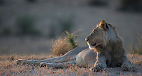 Subadult male lion at rest