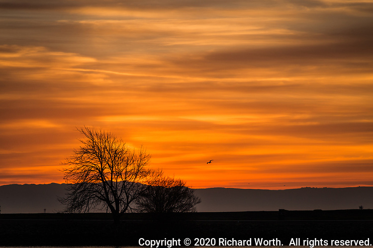 A tree full of empty limbs, a gull, and a sky on fire.  Sunset at the San Leandro Marina Park on San Francisco Bay's eastern shore.