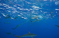 RM0788-D. Silky Sharks (Carcharhinus falciformis), dozens gathered together to feed on small fish in baitball, including juvenile Dolphinfish (Coryphaena hippurus) in upper left. Baja, Mexico, Pacific Ocean.<br /> Photo Copyright &copy; Brandon Cole. All rights reserved worldwide.  www.brandoncole.com