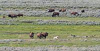 A Junction Butte Pack wolf is chased by bison.