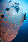 Russell Islands, Solomon Islands; a scuba diver hovering behind a massive red sea fan on a wall with the sun coming in from overhead