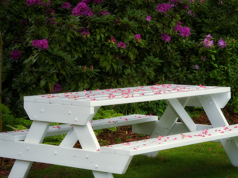 Table with fallen blossoms and blooming rhododendron. Schrieners Iris Gardens. Oregon
