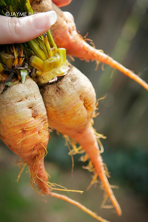 Freshly picked heirloom carrots.