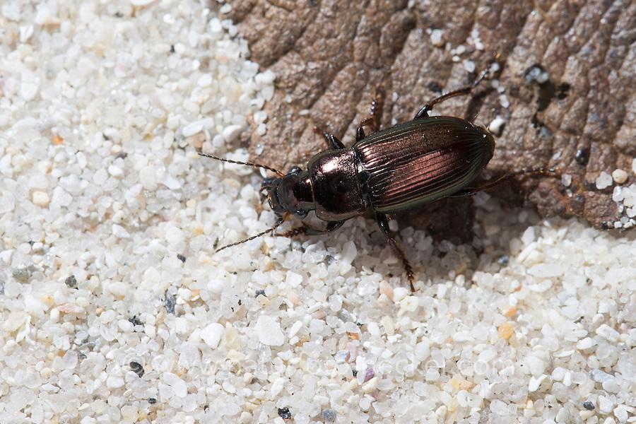 Metallischer Schnellläufer, Metallischer Schnelläufer, Auffälliger Schnellläufer, Auffälliger Schnelläufer, Männchen, Harpalus distinguendus, ground beetle, male