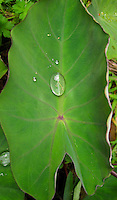 A mana 'ele'ele (Hawaiian variety of kalo or taro) leaf with water droplets, Big Island.