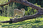 IMAGES OF SAN DIEGO, CALIFORNIA, USA, WILD ANIMAL PARK CHEETAH (Acinonyx jubatus)