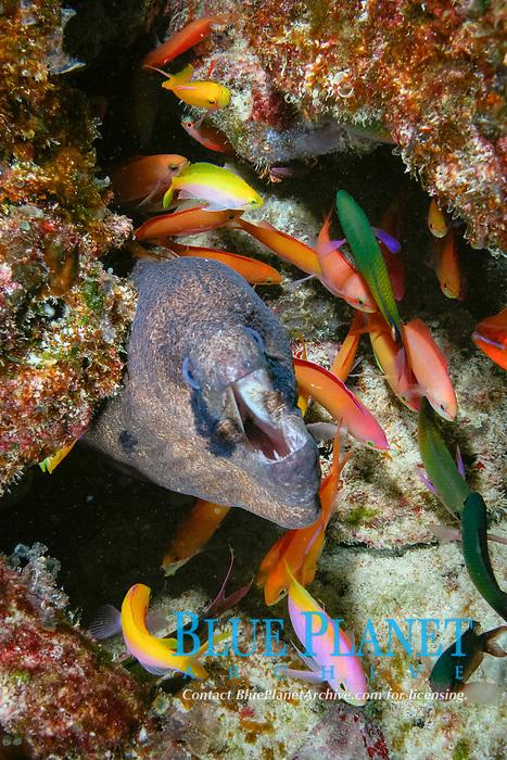 masked moray, Gymnothorax breedeni, & peach anthiases, Pseudanthias dispar, Christmas (Kiritimati) Island, Line Islands, Kiribati (Central Pacific Ocean) (do)