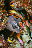 masked moray, Gymnothorax breedeni, & peach anthiases, Pseudanthias dispar, Christmas (Kiritimati) Island, Line Islands, Kiribati (Central Pacific Ocean) (do)