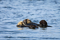 Southern sea otter or California sea otters Enhydra lutris nereis, adult pair, male and female, resting together after mating, Monterey Bay National Marine Sanctuary, Monterey, California, USA, Pacific Ocean