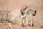Cape fox cub, Vulpes chama, with dead rat, Kgalagadi Transfrontier Park, Northern Cape, South Africa