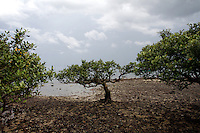 Mangroves in Zhanjiang, Guangdong Province. Over the past century, the world has lost over 50% of its coastal mangroves. They have been cleared mainly to make way for commercial shrimp and fish farms. The unique trees which live in salt water are valued for the ability to protect shorelines and are home to a diverse array of flora and fauna. 2010