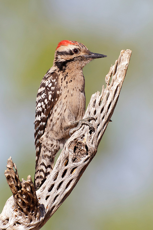 Ladder-backed Woodpecker - Picoides scalaris - male
