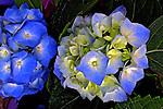 Flores. Hortênsias ( Hydrangea macrophilla). SP. Foto de Manuel Lourenço.