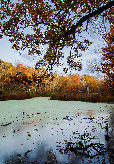 Autum Oaks turn russet red along with Maoles and other autumn trees, Gren Valley Forest Preserve, DuPage County, Illinois