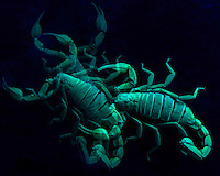 A Northern Scorpion glows and crawls about under a black light.