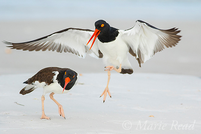 American Oystercatchers (Haematopus palliatus) pair interacting, female (left) resisting male's attempt to mate, Fort De Soto Park, Florida, USA