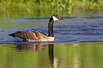 Canada goose swimming in a wilderness lake in northern Wisconsin.