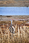 Sandhill Crane on the wetlands, Homer, Kenai Peninsula, Southcentral Alaska, Spring.