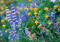 Mixed wildflowers. Mostly lupine,paintbrush and tiger lily. Hurricane Ridge. Olympic National Park. Washington.