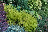 Calluna vulgaris 'Firefly', (Scottish Heather) in colorful foliage shrub border; Seattle Washington, Stacie Crooks design