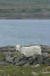 Veau sur l'île d'Insihmore.Calf on the Inishmore island.