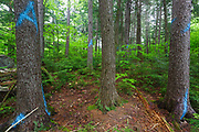 Trees marked for removal with blue paint in section 69 of the Northeast Swift Timber Project along Forest Road 209 in the White Mountain National Forest of New Hampshire USA.  The A painted on the trees is the marking symbol of the timber cruiser who worked the area. Its placed on a tree that was selected as a sample tree for the timber cruise of the sale.
