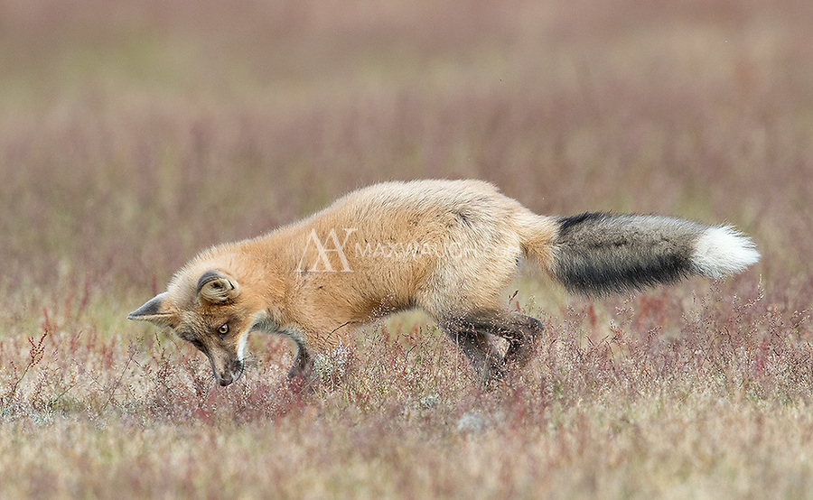 This red fox kit found a clump of vegetation and proceeded to pounce on it and attack it several times... good practice for hunting as an adult.