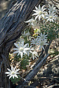 Flannel Flowers, Bouddi National Park, Central Coast, New South Wales