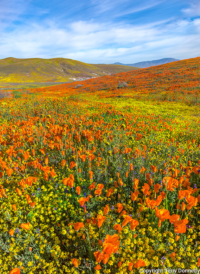 Mojave Desert, Antelope Valley, California:<br /> Rolling hills of spring wildflowers, California poppies (Eschscholzia californica), California coreopsis (Coreopsis californica) blooming near the Antelope Valley Poppy Reserve