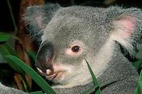 Koala, Australian marsupial
