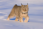 Eurasian Lynx (Lynx lynx) walking in the snow.