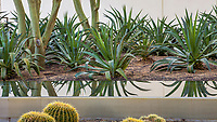 Agave desmettiana - Smooth Agave and reflecting pond; Sunnylands garden, Southern California