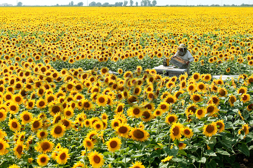 A beekeeper in the Marais Poitevin area (FRANCE) inspects his beehives in a sunflower field spreading to the horizon. This rich sedimentary, clayish water retaining soil is perfect for this crop. On good years, sunflower honey production can yield up to 80 kilograms per beehive.