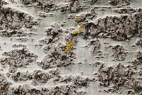 Silber-Pappel, Silberpappel, Pappel, Rinde, Borke, Stamm, Populus alba, White Poplar, bark, rind