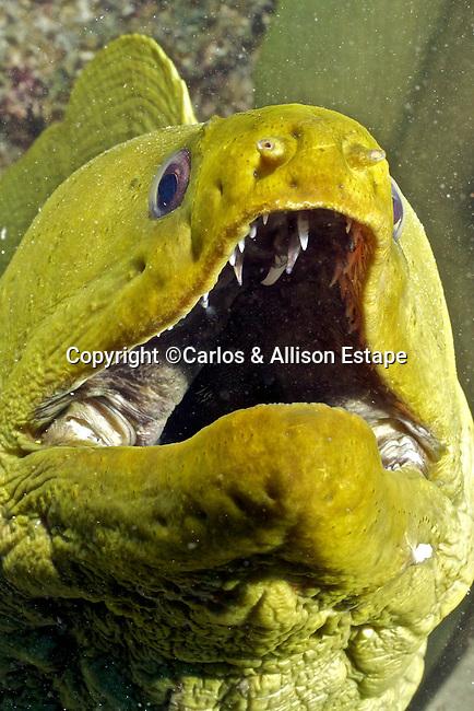 Gymnothorax funebris, Green moray, Florida Keys