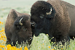 Amid the soft greens of tall grass and sagebrush, yellow wildflowers bloom providing the perfect summer scene as a large bull bison courts a female in Grand Teton National Park, Wyoming.