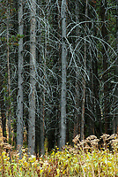 Branches reflect the soft overcast light and make a select group of trees stand out in a forest, Yellowstone National Park, Wyoming
