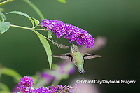 01162-15219 Ruby-throated Hummingbird (Archilochus colubris) on Butterfly Bush (Buddleia davidii) Marion County, IL