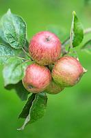France, Calvados (14), Pays d' Auge, env de Beuvron-en-Auge, Pommes à cidre, Pommes Moulin à Vent  // France, Calvados, Pays d' Auge, near Beuvron en Auge,   Cider apple: Moulin à vent<br /> <br /> Pommes Moulin à Vent