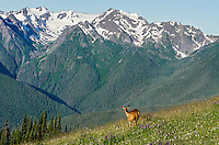 Columbian black-tailed deer (Odocoileus hemionus columbianus) doe in subalpine meadow with Olympic Mountains in background.  Olympic National Park, WA.  Summer.