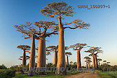 Tom Mackie, LANDSCAPES, LANDSCHAFTEN, PAISAJES, photos,+Africa, Madagascar, Tom Mackie, UNESCO World Heritage Site, Worldwide, african, baobab tree, big, blue, country lane, environ+ment, exotic, flora, forest, gigantic, green, group, high, horizontal, horizontals, huge, landscape, large, massive, morondav+a, nature, old, outdoor, path, plant, road, scenery, scenic, tall, tourism, track, tranquil, travel, tree, trees, tropical, t+runk,Africa, Madagascar, Tom Mackie, UNESCO World Heritage Site, Worldwide, african, baobab tree, big, blue, country lane, en+,GBTM150207-1,#L#
