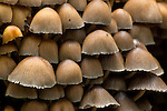 Group of small mushrooms growing in forest, Redwood Regional Park, East Bay Hills, California