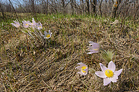 Paririe crocus in spring. (Anemone patens). LIttle Mountain Park<br />