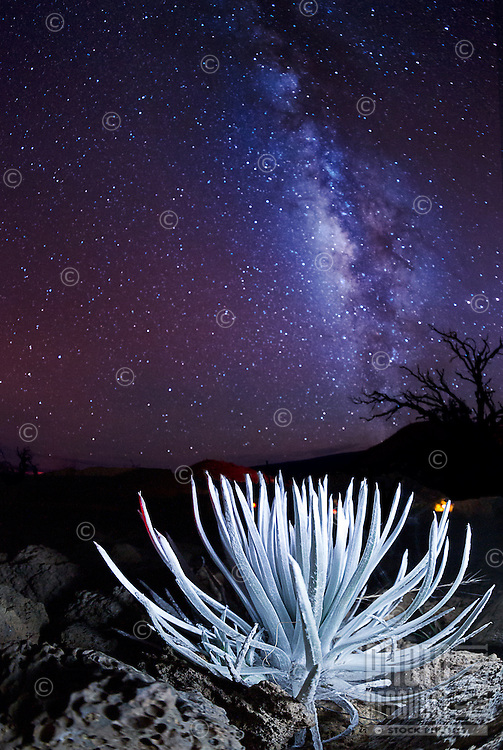The Milky Way on a very clear night shines over a silversword plant on Mauna Kea, Big Island.