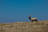 A male Tule Elk stands atop a hill along the Tomales Point Trail in Point Reyes National Seashore. Hunted to extinction in the area by 1860, scientists reintroduced a small number in 1978 and created the Tule Elk Reserve. This population is now one of the largest in California.